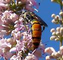 Good-sized wasp - Campsomeris tolteca - female