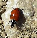 Beetle - Hippodamia