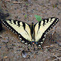 Eastern Tiger Swallowtail - Papilio appalachiensis - male