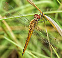 Wandering Glider - Pantala flavescens - male