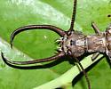 Eastern Dobsonfly - Corydalus cornutus - male