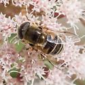 Bee mimic - Eristalis? - Eristalis stipator