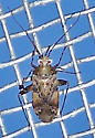 Phytocoris