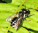 Bee at Sleeping Bear Dunes - Megachile inermis