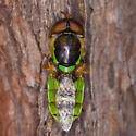 Stylish Dipteran - Odontomyia cincta - male