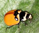 Unidentified Ladybird - Coccinella trifasciata