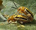 Three-lined Potato Beetle - Lema daturaphila - male - female