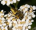 Lovely gold buprestid - Lepturobosca chrysocoma