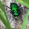 Green Tiger Beetle - Cicindela sexguttata