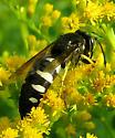 Sand Wasp - Bicyrtes quadrifasciatus - female
