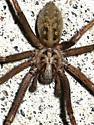 Giant House Spider - Eratigena duellica - male