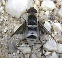 bee fly - Paravilla cunicula