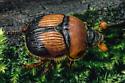 Beetle - Bolbocerosoma bruneri