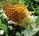 Fritillary - which species? - Speyeria cybele - female