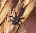 Beetle Larva - Harmonia axyridis