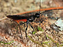 Braconid - Atanycolus - female