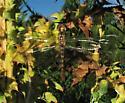 Dragonfly in SE Wisconsin - Pantala hymenaea
