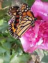 Unknown Butterfly - Danaus plexippus