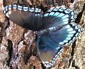 is this a red spotted purple? - Limenitis arthemis