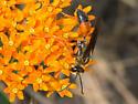 Orange and black wasp - Sphex ichneumoneus