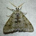 Moth - Phigalia strigataria - male
