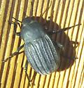 Coleoptera - Eleodes tricostata