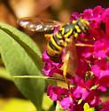 Eastern Hornet Fly - Spilomyia longicornis - female