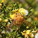 Valley Carpenter Bee - Xylocopa varipuncta - male