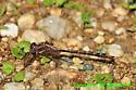 Ashy clubtail? (DDF771a and b) - Phanogomphus exilis
