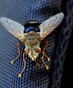 Epalpus sp. - Epalpus signifer