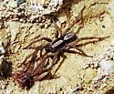 spider 1 aug 08 - Hogna frondicola