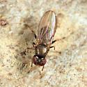 fly - Aulacigaster neoleucopeza - male