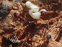 unknown ants - Novomessor albisetosus