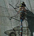 Dragonfly on Post - Aeshna canadensis