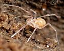 small & odd harvestman - Erebomaster acanthinus