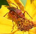 Pompilidae - Tachypompilus unicolor - female