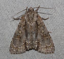 Noctuidae - Acronicta