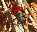 Red beetle - Tricrania sanguinipennis