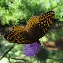 unknown Fritillary sp. - Speyeria cybele