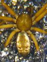 Male linyphiid - Lepthyphantes? - Tenuiphantes tenuis - male