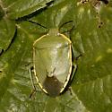 Chlorochroa species? - Chlorochroa