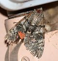 Catocala junctura, Joined Underwing ? 1 of 2 individuals  - Catocala