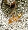 Ant raids - Dorymyrmex bureni - female