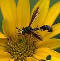 Wasp - Physocephala furcillata