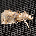 Moonseed Moth - Hodges#8534 - Plusiodonta compressipalpis