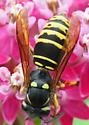 Vespinae - Hornets and Yellowjackets Ground-Hornet Vespula vidua worker  - Vespula vidua