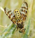 Chaetostomella undosa male maybe? - Chaetostomella undosa - male
