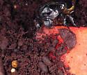 Osmoderma emericola - Osmoderma eremicola - male
