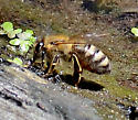 Western Honey Bee - Apis mellifera