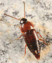 rove beetle - Tachinus corticinus